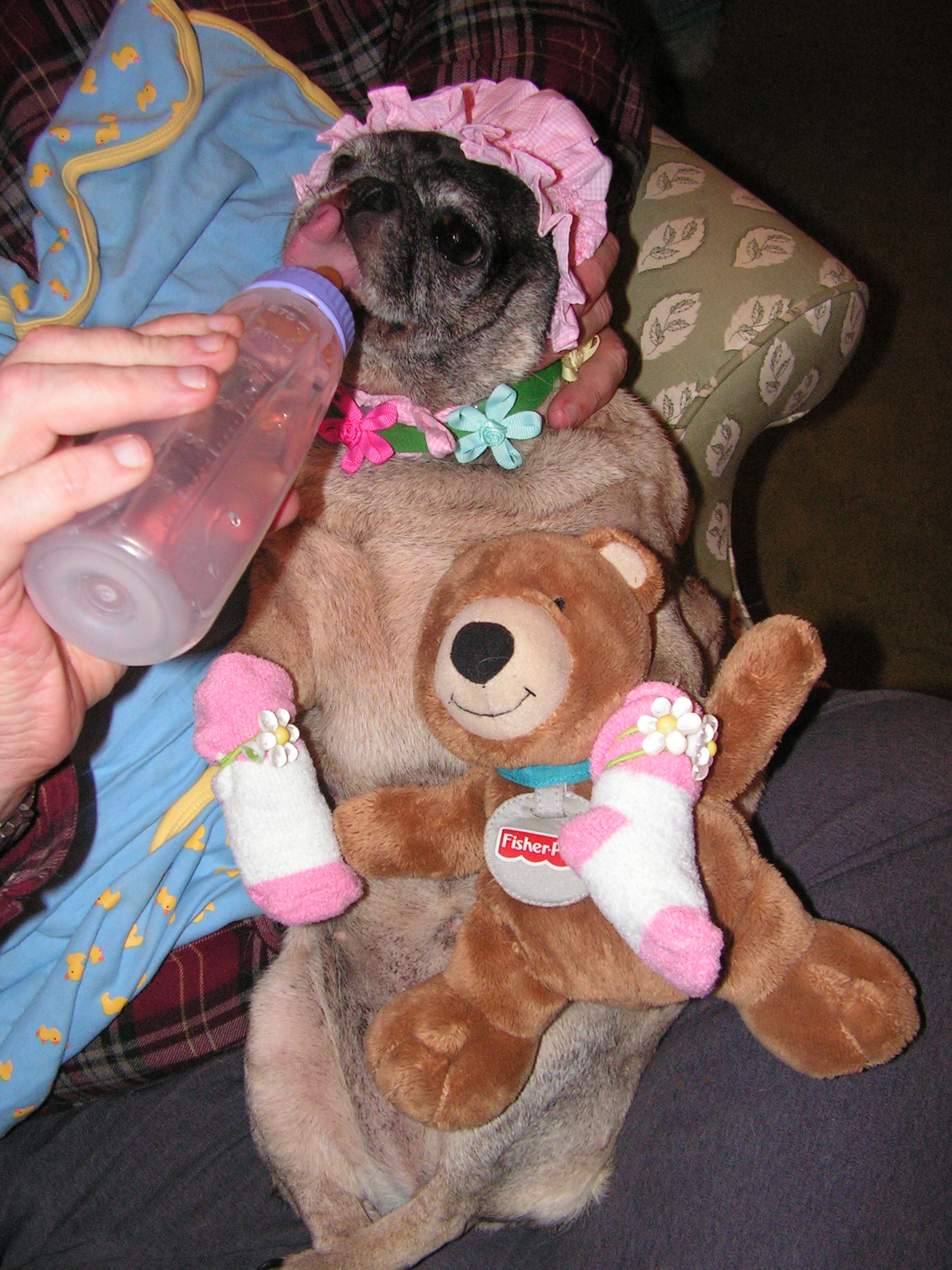 My Pug, Gypee dressed up as a baby.