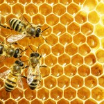 Can bee bacteria counter antibiotic-resistant infections?
