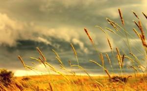Genetically modified wheat field