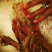 This is typically what the underside of chickens look like - ammonia burns and raw skin