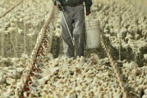 """""""Humanely"""" raised poultry - crowded conditions demonstrate why so many antibiotics are used"""