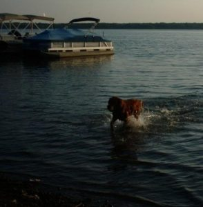 Audie heading back to shore after retrieving his ball